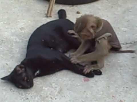 monkey grooms cat