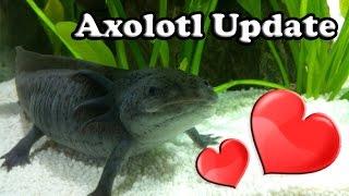 Axolotl Update: Liebe und Hitze
