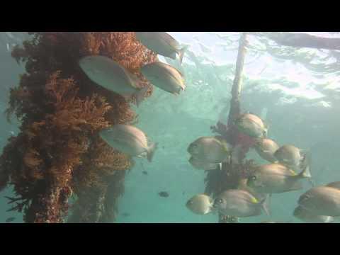 Good Rabbitfish Arborek