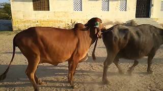 geer-cow-breeding-time