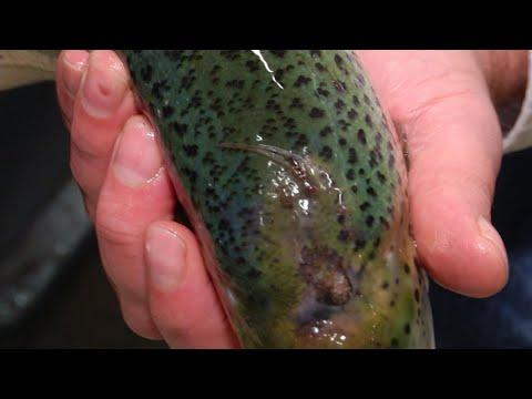 The tiny parasite threatening your salmon sushi