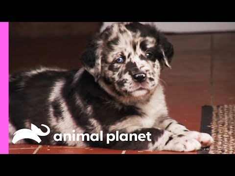 Speckled Puppy Maxwell Keeps Getting Left Out By His Siblings | Too Cute!