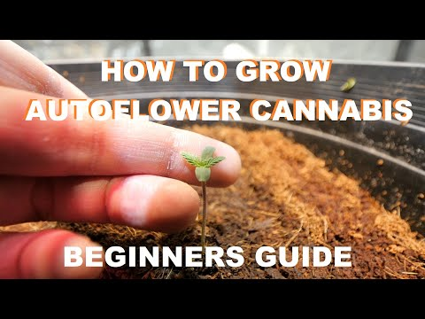HOW TO START GROWING AUTOFLOWER CANNABIS – DrAutoflowers Beginners Guide
