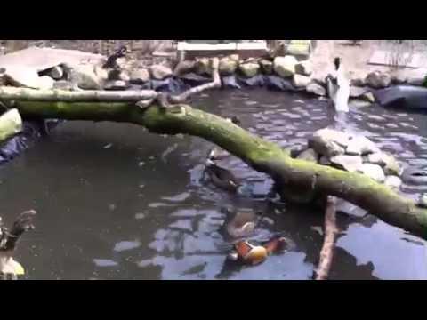 Alexs birds- feeding time ornamental ducks