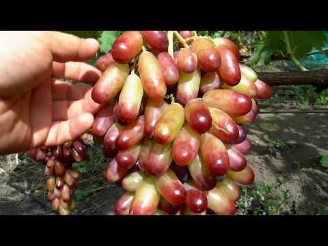 Скачать песню виноград-полнолуние.