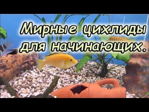 Мирные цихлиды. Лабидохромис еллоу. Содержание в аквариуме.