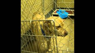 Cooper - Male Lab Mix Found Abandoned In Attic - Still At Dog Pound