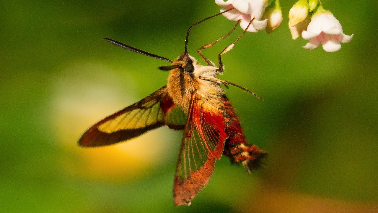 Insect that looks like a hummingbird 10