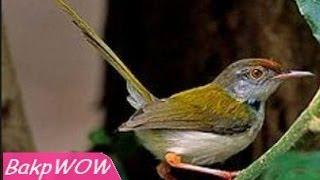 Suara Burung Prenjak Pyeng HD
