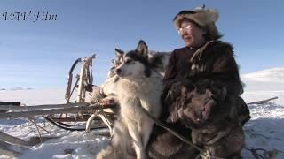 Чукчи оленеводы и их неприхотливые собаки лайки