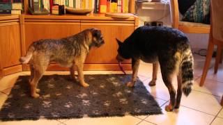 Border Terrier Yukon Und Australian Cattle Dog Millaa