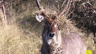 The New King Of The Jungle - Water-buck With His Grass Crown