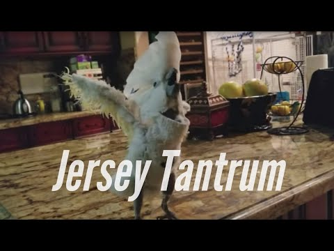 All My Birds and My Cockatoos Tantrum Over a Cookie | PARROT VIDEO OF THE DAY