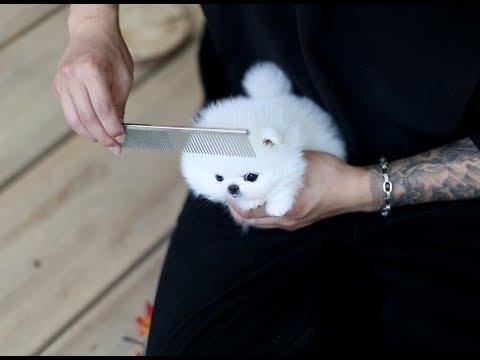 teacup-puppy-for-sale!-teacup-white-pomeranian
