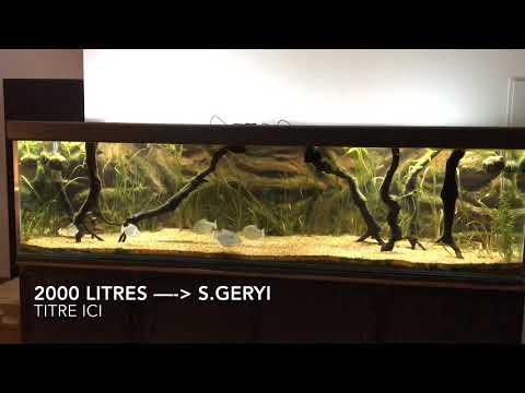 Serrasalmus geryi - Geryi Piranha 1