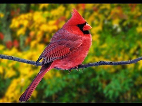 Как выбирают лучших певчих птиц. Вокруг планеты