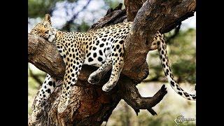 Жизнь Необычного Леопарда | Документальный Фильм