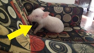 Couple That Adopts A Micro Pig Soon Learns That They Missed One Crucial Detail