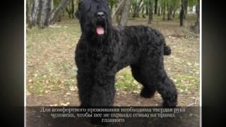 Черный терьер Крупные породы собак
