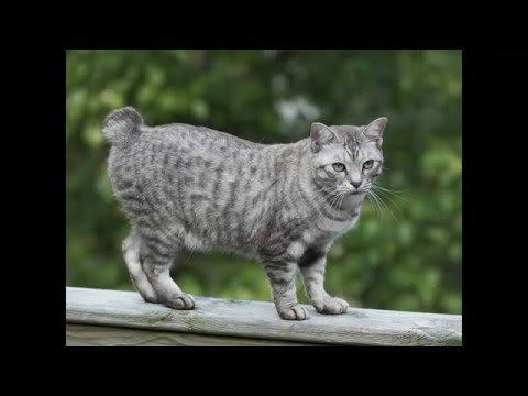 most beautiful cats / kedi cinsleri - amerikan bobtail / cat breeds - american bobtail