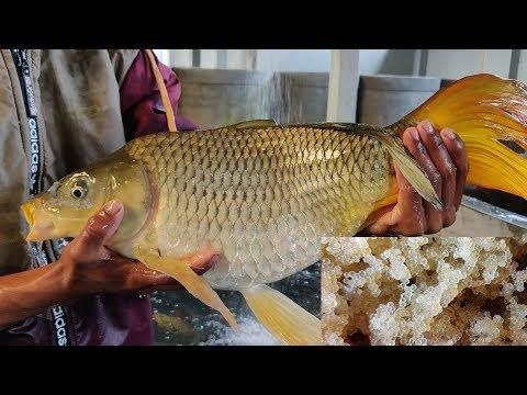 Common Carp Fish Eggs Hatching  System