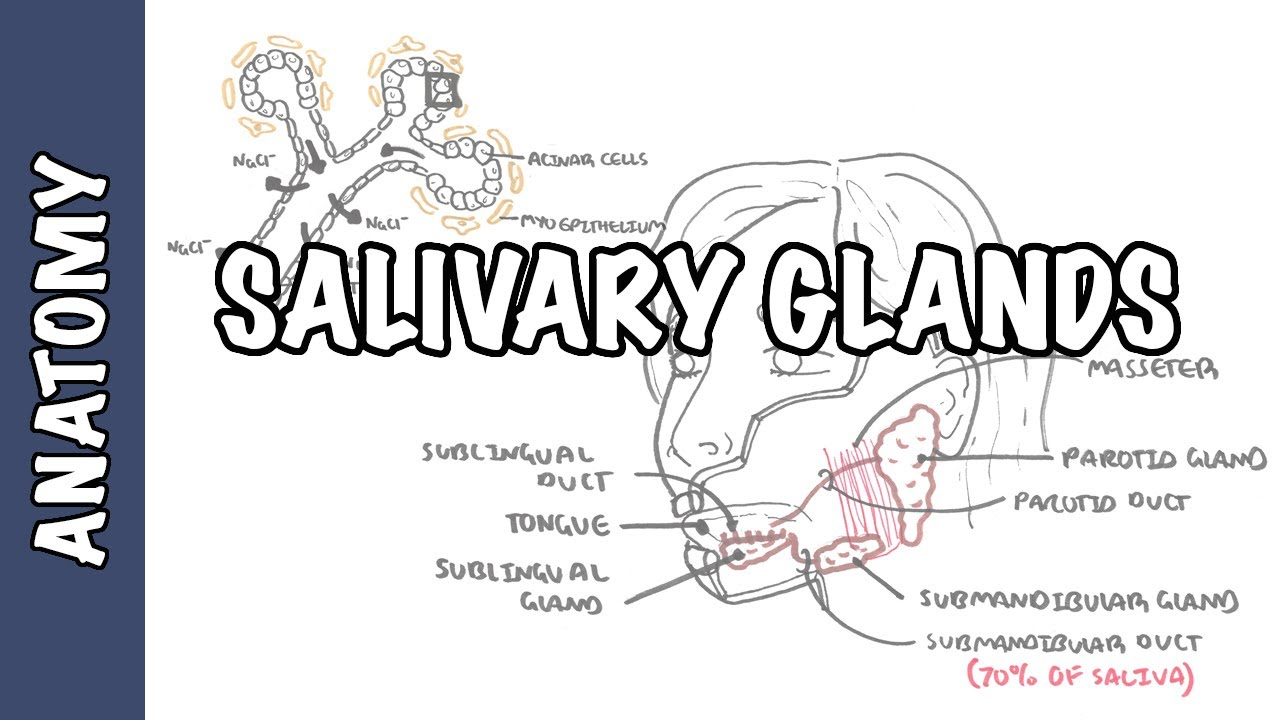 hight resolution of salivary glands anatomy and physiology