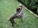 German Shorthaired vs. Wirehaired Pointer II