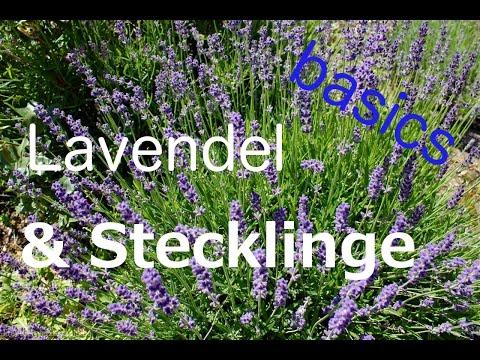 Lavendel & Stecklinge Grundwissen