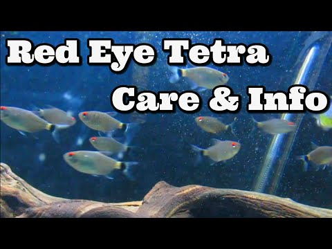 Red Eye Tetra Care And Information