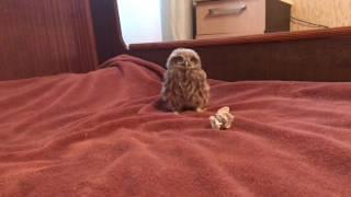 Husky and owl Домовый сыч Ныча)