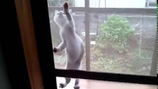 猫の網戸登り ハナマルあの時は若かった! thumbnail