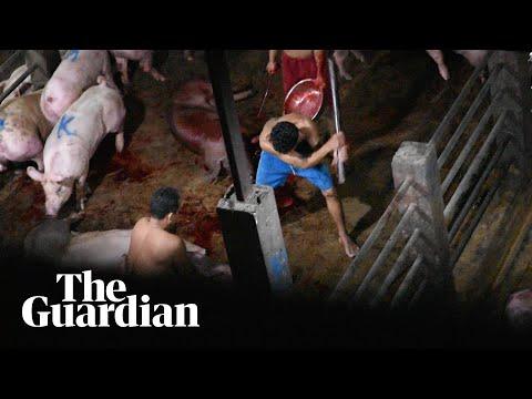 Secret slaughterhouse video reveals brutal treatment of pigs in Cambodia