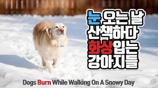 강아지가 눈밭에서  화상을 입는 이유:추운 겨울 강아지…