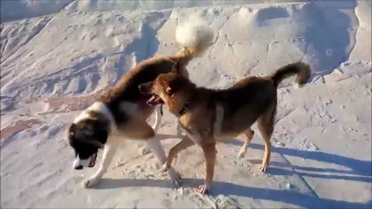Caucasian Ovcharka Vs Wolf Hybrid Playing 8 Months Old