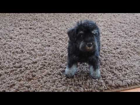 Schnoodle puppies playing