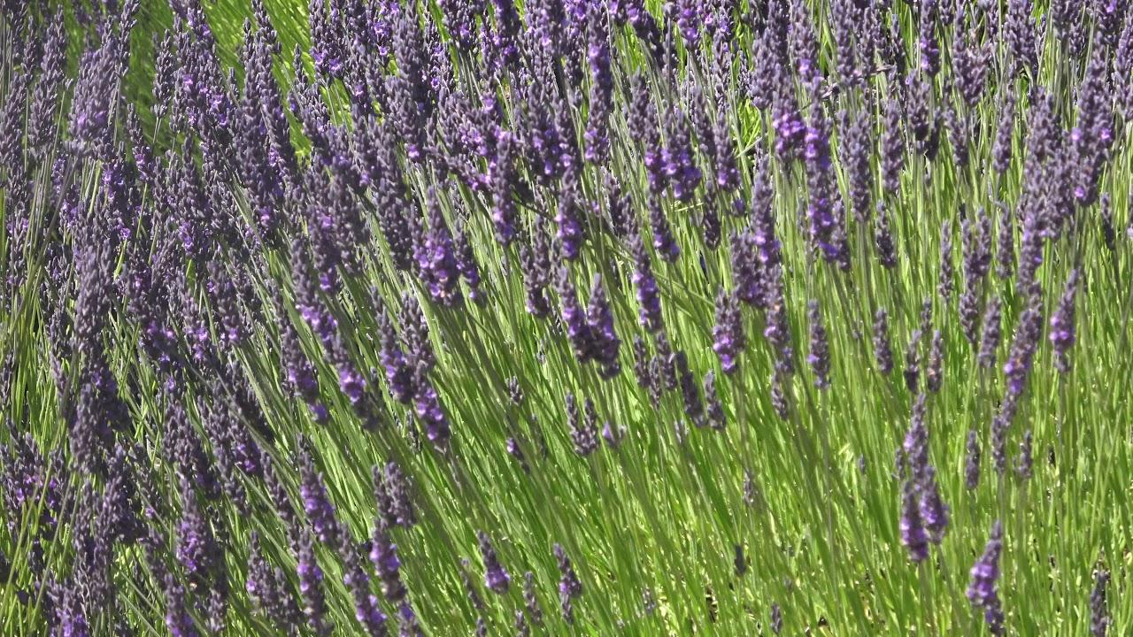 Lavender Farm - A nature's gift in Seattle, Washington