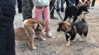 四国犬パピー達(2か月・4~5カ月) 日本犬保存会有志による鑑賞会にて。