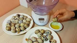 Отбор инкубационного яйца перепела - вес, форма, окрас, размер