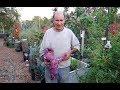 Garden Morning Walk Tips Purple Yams Papayas Compost Squash Tomatoes