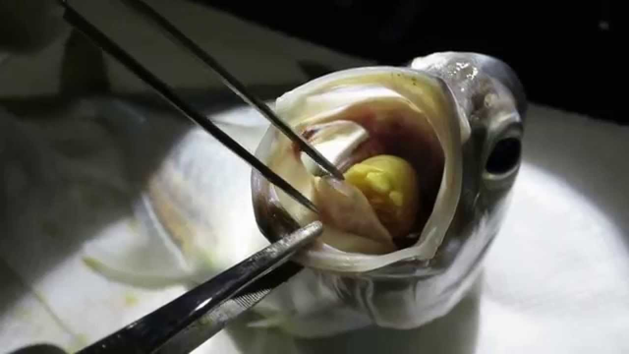 Tongue isopod in fish youtube for Parasite that eats fish tongue