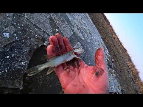 Вопрос: У антарктических нототеноидных рыб лед в крови , почему?