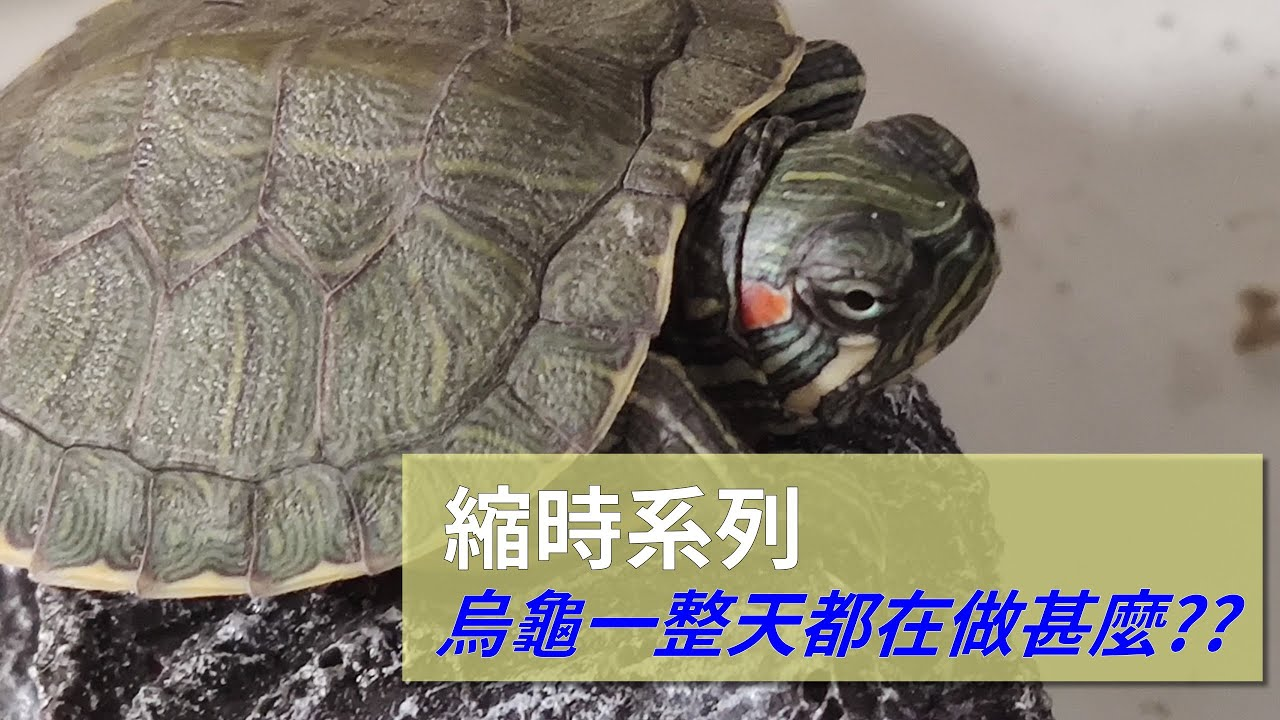 【縮時系列】烏龜的一天