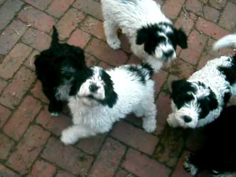 Genius Portuguese Water Dog Puppies YouTube