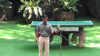 Parrot Singing Popular Indonesian Folk Song: Rasa Sayange