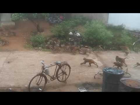 Big War.Fight between monkeys group