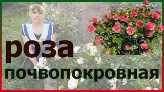 видео Бордюрные розы миниатюрные: фото, сорта, посадка и уход с размножением