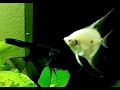 Neue Skalare und Tetra Neon Fische imJuwel Aquarium  Skalare, Neons, Mollys Aquarium