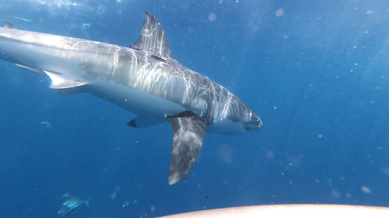 Shark cage diving - 18th February 2021