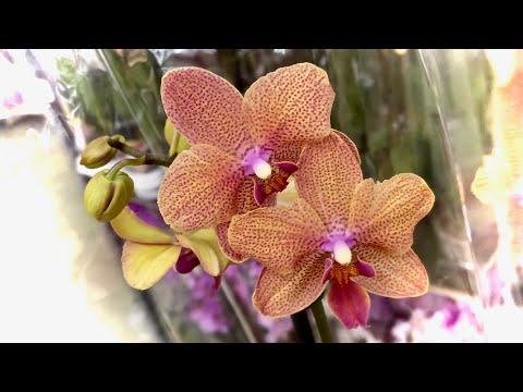 Вопрос: Какие есть виды орхидей открытого грунта для Подмосковья?