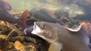 Рыбалка огромный улов и как отличается самочка хариуса от самца в глухих ручьях прекрасной тайги(, 2013-06-29T03:17:10.000Z)